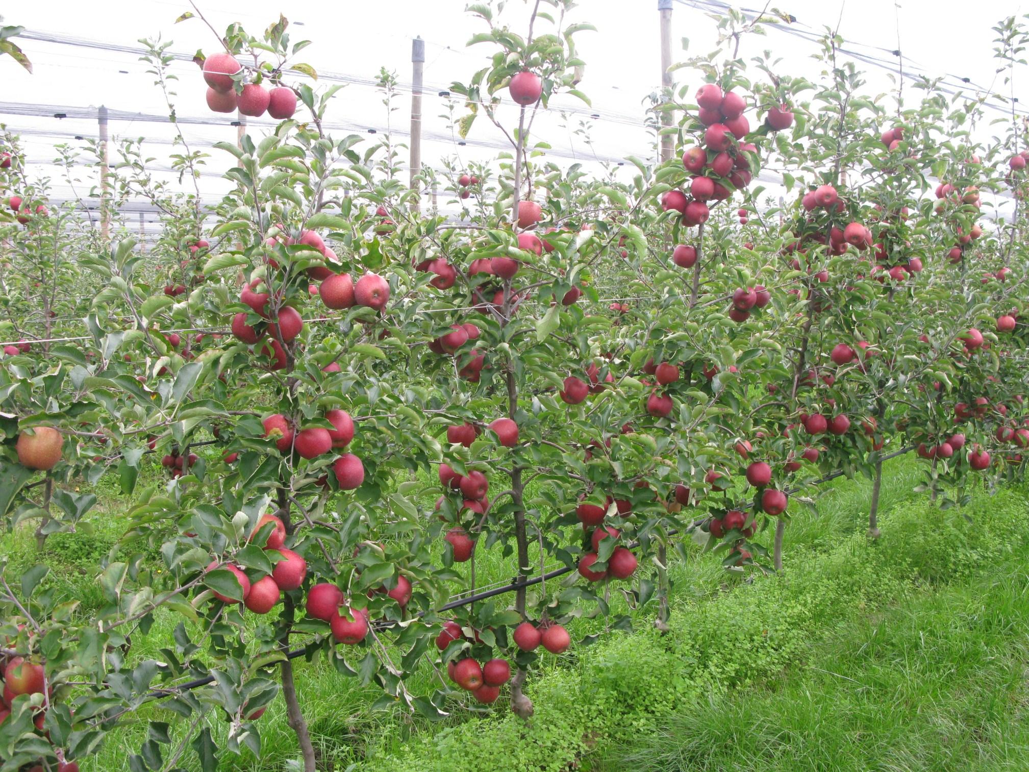 Zabavna biologija - botanika i zoologija: Eko proizvodnja jabuka i voća Jug